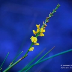 Viminaria juncea (Golden Spray) at South Pacific Heathland Reserve - 10 May 2016 by Charles Dove