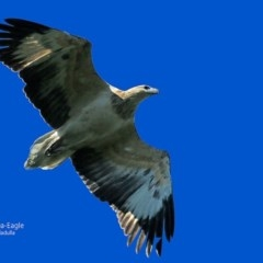 Haliaeetus leucogaster (White-bellied Sea-eagle) at South Pacific Heathland Reserve - 10 May 2016 by Charles Dove