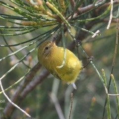 Acanthiza nana (Yellow Thornbill) at Undefined - 13 May 2016 by Charles Dove