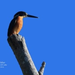 Ceyx azureus (Azure Kingfisher) at Wairo Beach and Dolphin Point - 3 May 2016 by Charles Dove