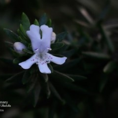 Westringia fruticosa (Native Rosemary) at One Track For All - 4 May 2016 by Charles Dove