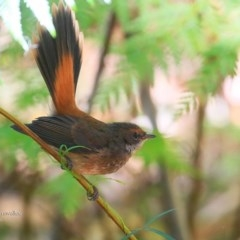 Rhipidura rufifrons (Rufous Fantail) at Garrad Reserve Walking Track - 4 May 2016 by Charles Dove