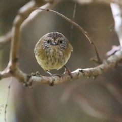 Acanthiza lineata (Striated Thornbill) at Ulladulla - Millards Creek - 1 May 2016 by Charles Dove