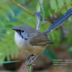 Malurus lamberti (Variegated Fairy-wren) at Garrad Reserve Walking Track - 1 May 2016 by Charles Dove
