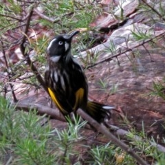 Phylidonyris novaehollandiae (New Holland Honeyeater) at ANBG - 13 Jun 2018 by RodDeb