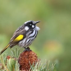 Phylidonyris novaehollandiae (New Holland Honeyeater) at Mogo State Forest - 13 Jun 2018 by Leo