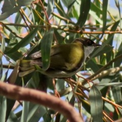 Melithreptus lunatus (White-naped Honeyeater) at ANBG - 13 Jun 2018 by RodDeb