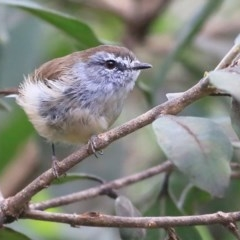 Gerygone mouki (Brown Gerygone) at Wairo Beach and Dolphin Point - 30 Mar 2016 by Charles Dove