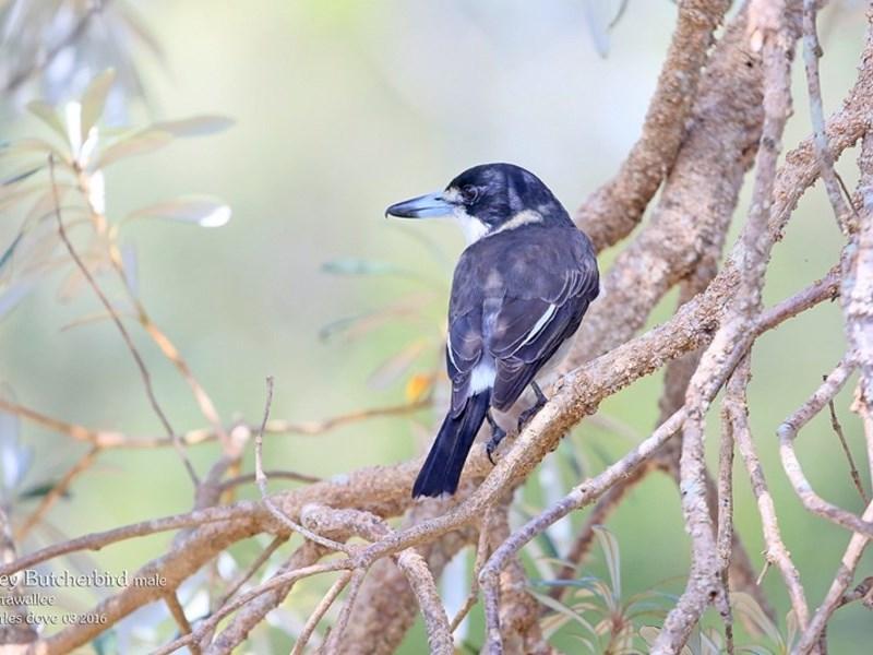 Cracticus torquatus at Narrawallee Foreshore Reserves Walking Track - 29 Mar 2016