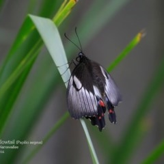 Papilio aegeus (Orchard Swallowtail, Large Citrus Butterfly) at Garrad Reserve Walking Track - 29 Mar 2016 by Charles Dove