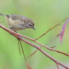 Acanthiza lineata (Striated Thornbill) at Burrill Lake Aboriginal Cave Walking Track - 28 Mar 2016 by Charles Dove