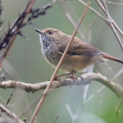 Acanthiza pusilla (Brown Thornbill) at Meroo National Park - 24 Mar 2016 by Charles Dove