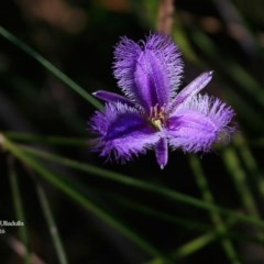 Thysanotus juncifolius (Branching Fringe Lily) at One Track For All - 21 Mar 2016 by Charles Dove