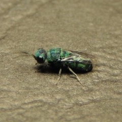 Chrysididae sp. (family) (Unidentified cuckoo wasp) at Conder, ACT - 23 Dec 2017 by michaelb