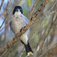 Cracticus torquatus (Grey Butcherbird) at Ulladulla, NSW - 7 Mar 2016 by Charles Dove