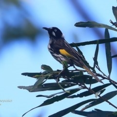 Phylidonyris novaehollandiae (New Holland Honeyeater) at Ulladulla, NSW - 7 Mar 2016 by Charles Dove