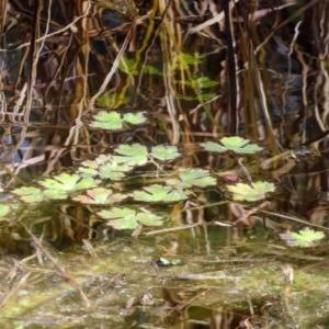 Ranunculus sp. at Jerrabomberra Wetlands - 15 Jun 2018