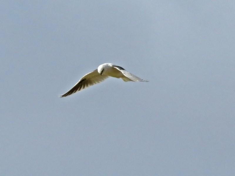 Elanus axillaris at Jerrabomberra Wetlands - 15 Jun 2018