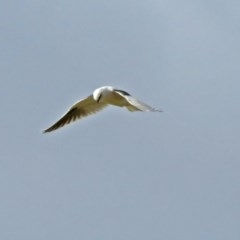 Elanus axillaris (Black-shouldered Kite) at Jerrabomberra Wetlands - 15 Jun 2018 by RodDeb
