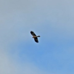 Haliastur sphenurus (Whistling Kite) at Jerrabomberra Wetlands - 15 Jun 2018 by RodDeb