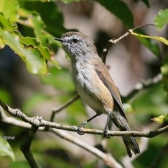 Gerygone mouki (Brown Gerygone) at Mollymook, NSW - 1 Mar 2016 by Charles Dove