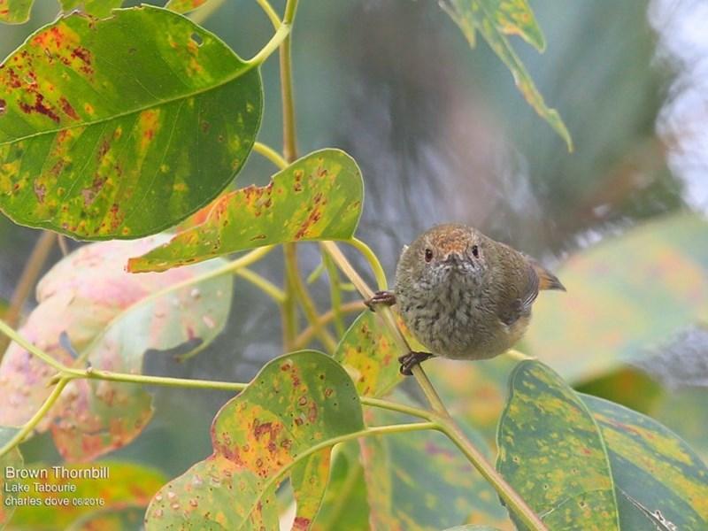 Acanthiza pusilla at Lake Tabourie Bushcare - 30 Jun 2016