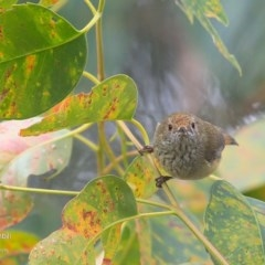 Acanthiza pusilla (Brown Thornbill) at Lake Tabourie Bushcare - 29 Jun 2016 by Charles Dove