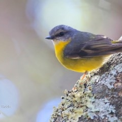 Eopsaltria australis (Eastern Yellow Robin) at Tabourie Lake Walking Track - 27 Jun 2016 by Charles Dove