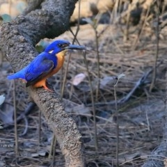 Ceyx azureus (Azure Kingfisher) at Garrad Reserve Walking Track - 15 Jun 2016 by Charles Dove