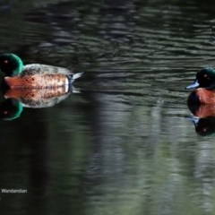 Anas castanea (Chestnut Teal) at Undefined - 15 Jun 2016 by Charles Dove