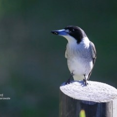 Cracticus torquatus (Grey Butcherbird) at Garrad Reserve Walking Track - 16 Jun 2016 by Charles Dove