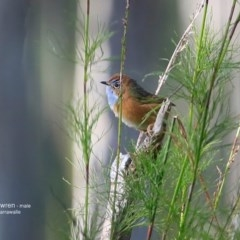 Stipiturus malachurus (Southern Emu-wren) at Garrad Reserve Walking Track - 16 Jun 2016 by Charles Dove