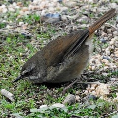 Sericornis frontalis (White-browed Scrubwren) at Brogo, NSW - 14 Jun 2018 by MaxCampbell