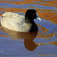 Fulica atra (Eurasian Coot) at Undefined - 15 Jun 2016 by Charles Dove