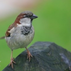 Passer domesticus (House Sparrow) at Undefined - 13 Jun 2016 by Charles Dove