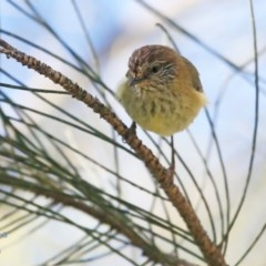 Acanthiza lineata (Striated Thornbill) at Tabourie Lake Walking Track - 15 Jun 2016 by Charles Dove