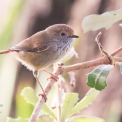 Acanthiza pusilla (Brown Thornbill) at Lake Tabourie Bushcare - 9 Jun 2016 by Charles Dove