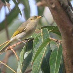 Lichenostomus fuscus (Fuscous Honeyeater) at Lake Tabourie Bushcare - 9 Jun 2016 by Charles Dove