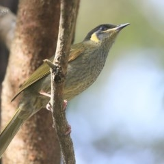 Meliphaga lewinii (Lewin's Honeyeater) at Lake Tabourie Bushcare - 9 Jun 2016 by Charles Dove