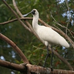 Platalea regia (Royal Spoonbill) at Lake Tabourie Bushcare - 9 Jun 2016 by Charles Dove
