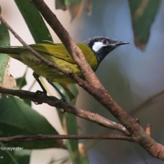 Nesoptilotis leucotis (White-eared Honeyeater) at Lake Tabourie Bushcare - 9 Jun 2016 by Charles Dove
