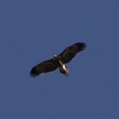 Aquila audax (Wedge-tailed Eagle) at Illilanga & Baroona - 11 Jun 2018 by Illilanga