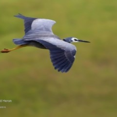 Egretta novaehollandiae (White-faced Heron) at Tabourie Lake Walking Track - 9 Jun 2016 by Charles Dove