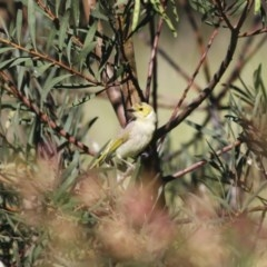 Ptilotula penicillatus (White-plumed Honeyeater) at Illilanga & Baroona - 9 Nov 2009 by Illilanga