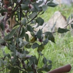 Nesoptilotis leucotis (White-eared Honeyeater) at Illilanga & Baroona - 1 May 2012 by Illilanga