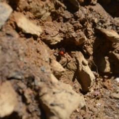 Eumeninae sp. (subfamily) (Unidentified Potter wasp) at Wamboin, NSW - 28 Feb 2018 by natureguy