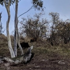 Sus scrofa (Feral Pig) at Cooleman Ridge - 16 Jun 2018 by HelenCross