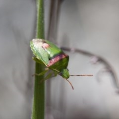 Ocirrhoe unimaculata (Green Stink Bug) at Illilanga & Baroona - 13 Nov 2011 by Illilanga