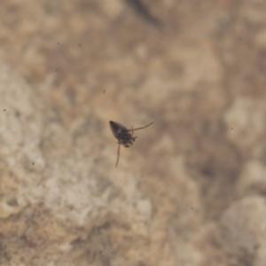 Notonectidae sp. (family) at Illilanga & Baroona - 28 Nov 2011