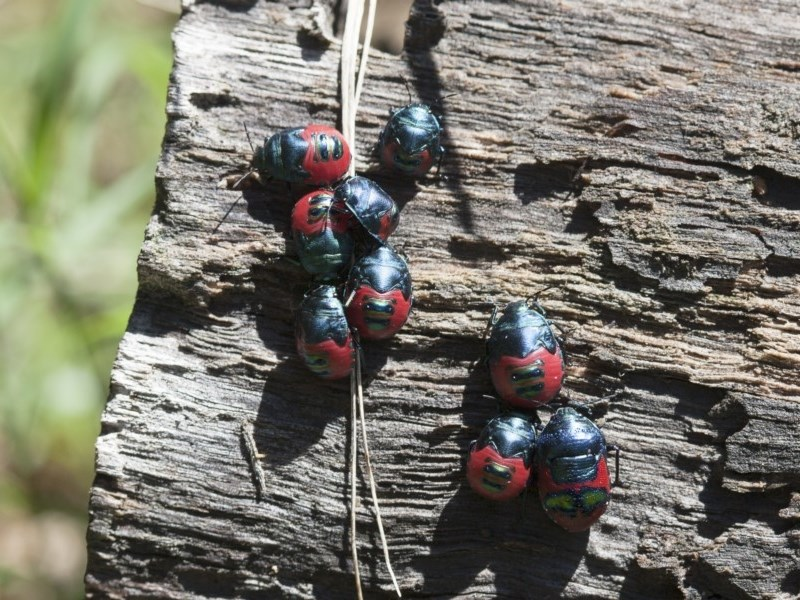Choerocoris paganus at Michelago, NSW - 13 Feb 2012